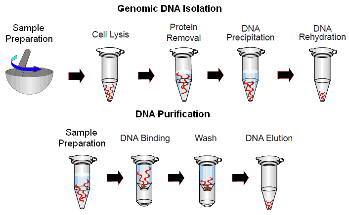 Dna Extraction Protocol From Cells Examples Of Apa Style