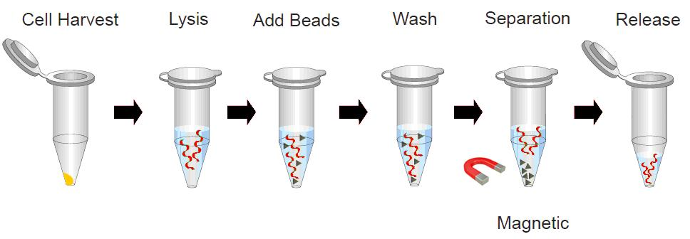 Bacteria Magnetic Beads Dna Isolation Kit 100 Rxn